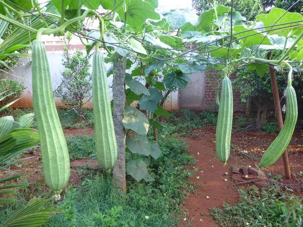 planta de estropajo