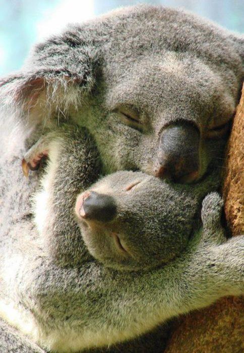 koala mamá e hijo