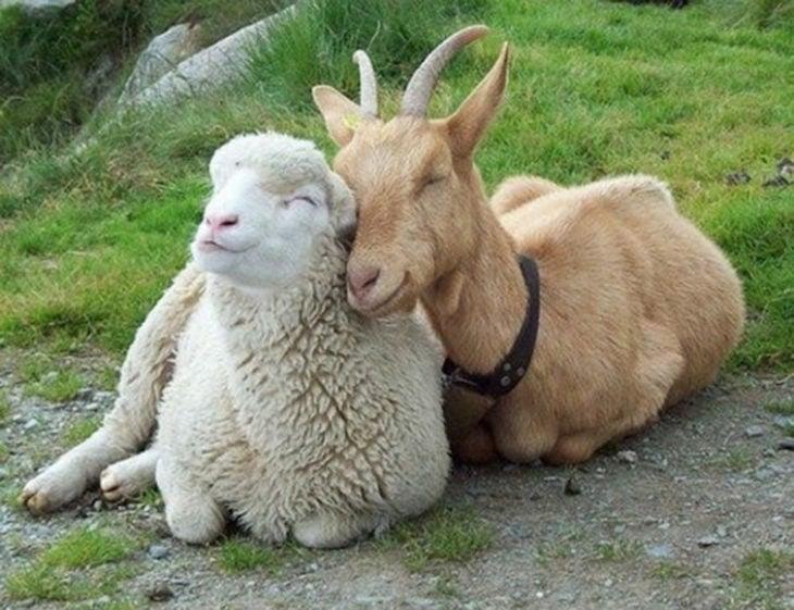 oveja y cabra acurrucados
