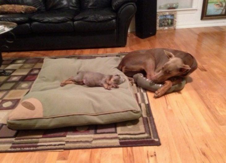 cachorrito dormido en cama grande de mamá