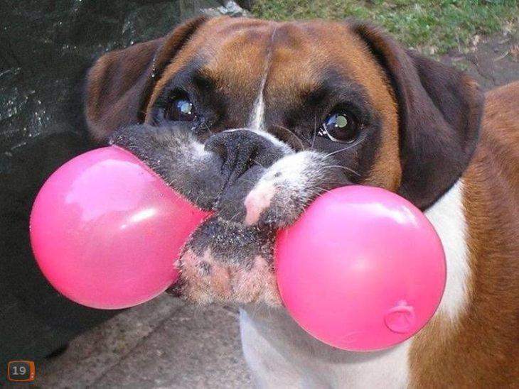 foto de perro que juega con globo