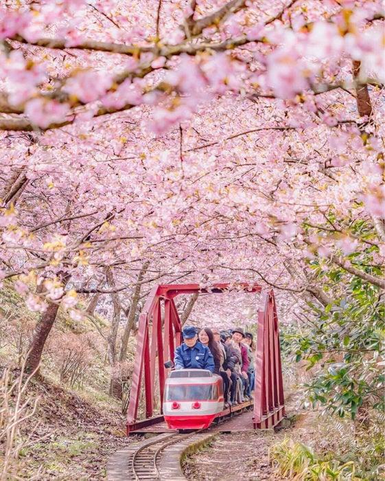 Japón se tiñe de rosa, los cerezos anuncian la primavera