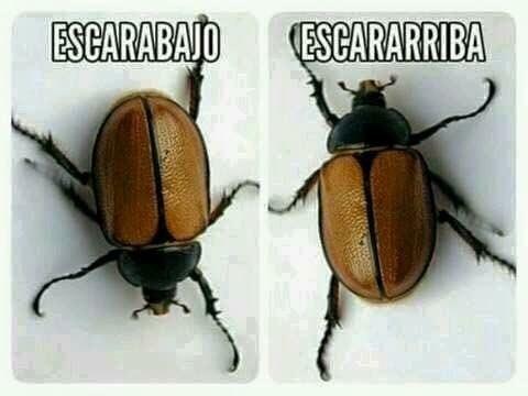 Memes simples escarabajo