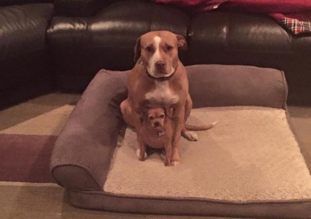 Pitbull y chihuahua sentados en cama en su casa