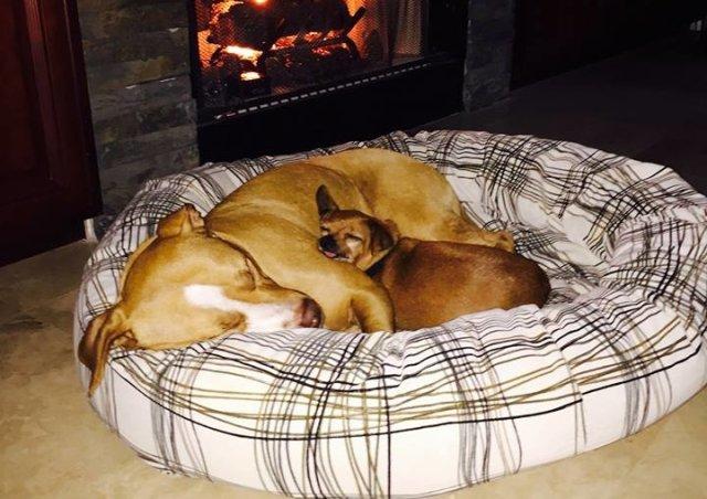 pitbull y chihuahua dormidos