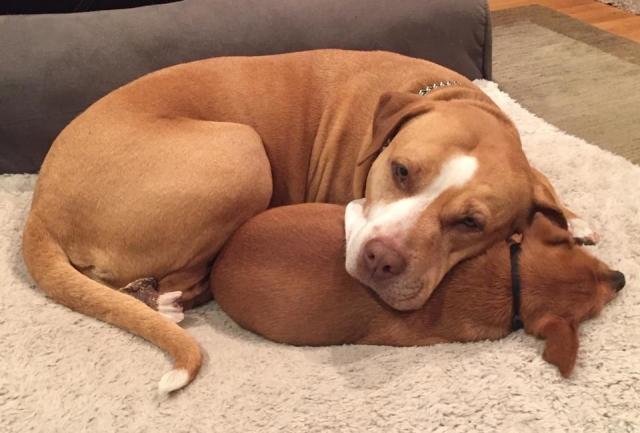 pitbull recostado sobre chihuahua