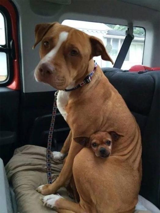 Pitbull y chihuahua abrazados en el carro
