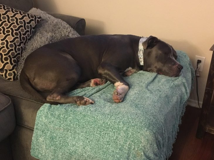 pitbull dormido sillón