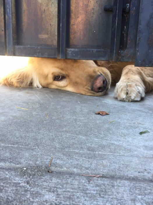 perro acostado en la rendija del portón