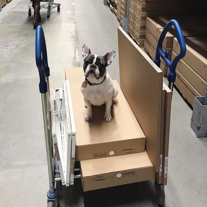 perro encima de cajas en trabajo