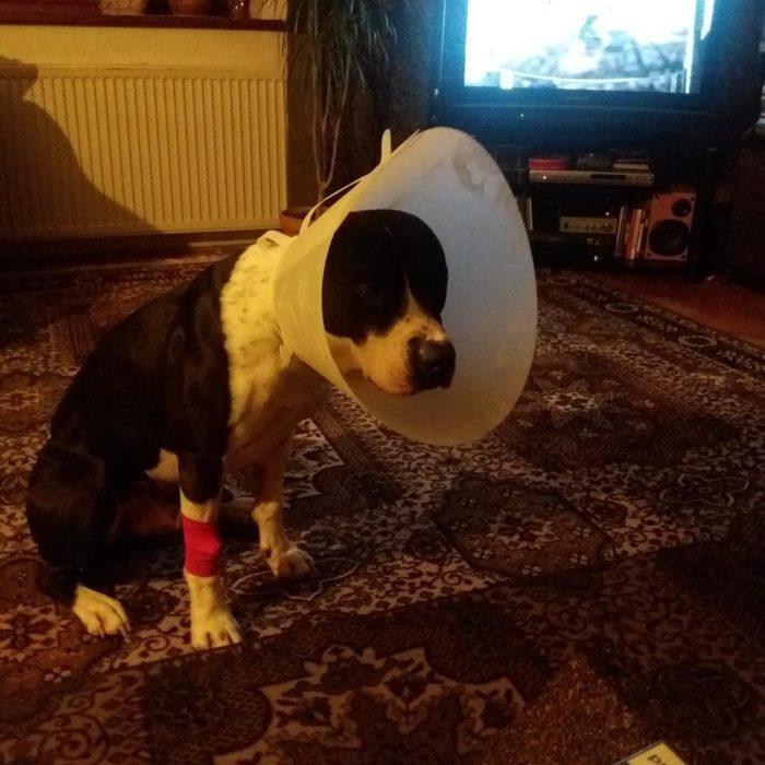 perro con un cono en el cuello