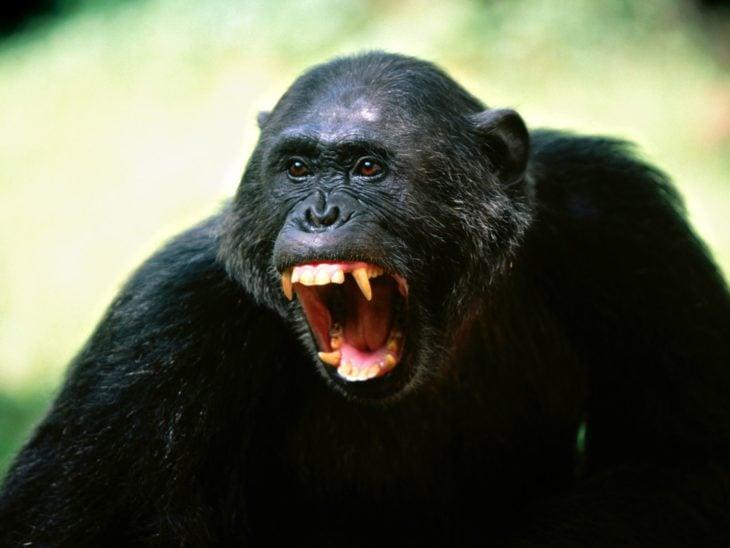 chimpancé enojado