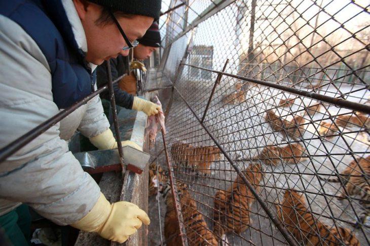 granja de tigres china