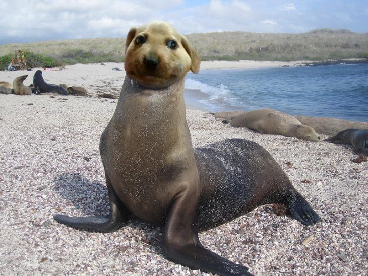 perrito comeabejas foca