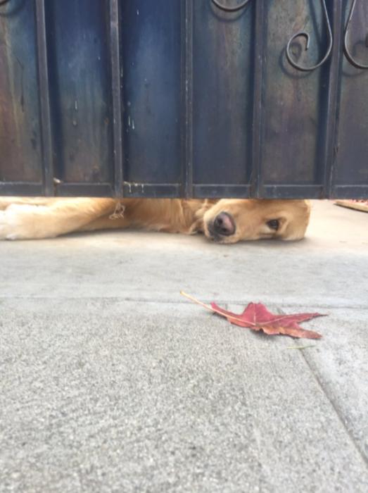 perro acostado asomado por un portón