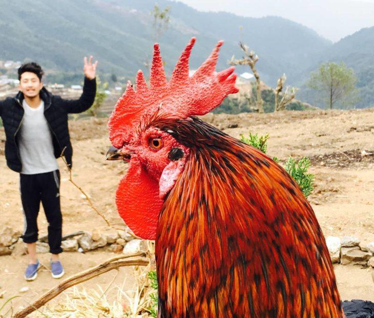 gallo y detrás se ve un muchacho