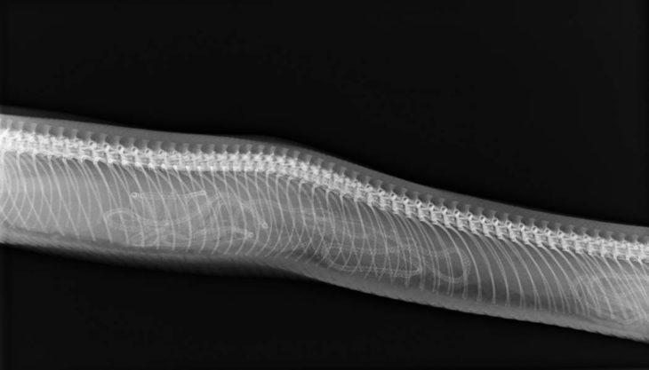 rayos x de serpiente embarazada