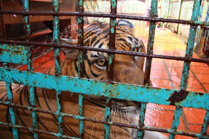 tigre encerrado