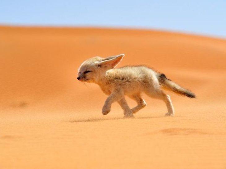 zorro del desierto bebé