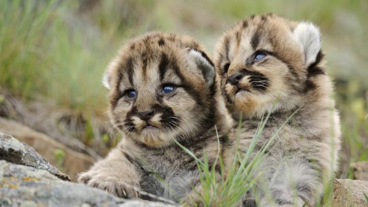 jaguares bebé