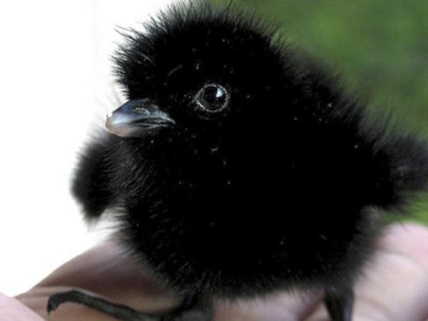 cuervo bebé