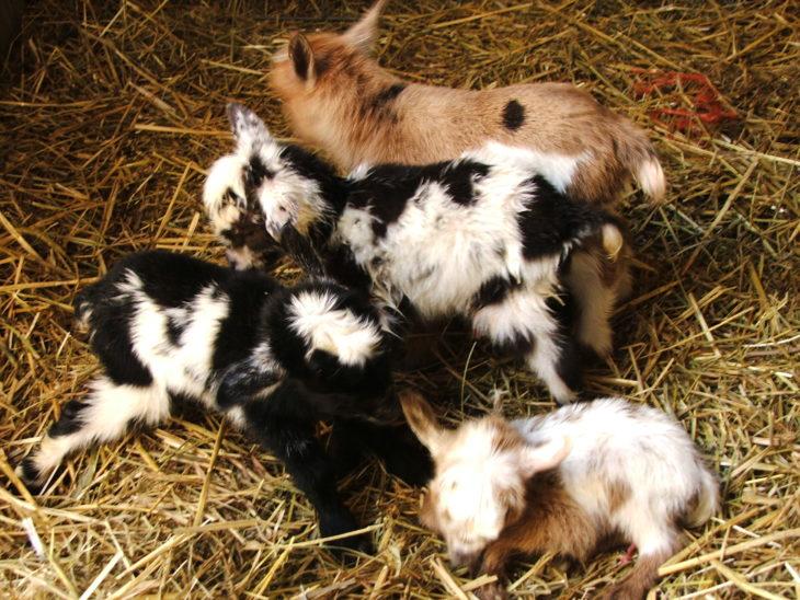 cabras bebé