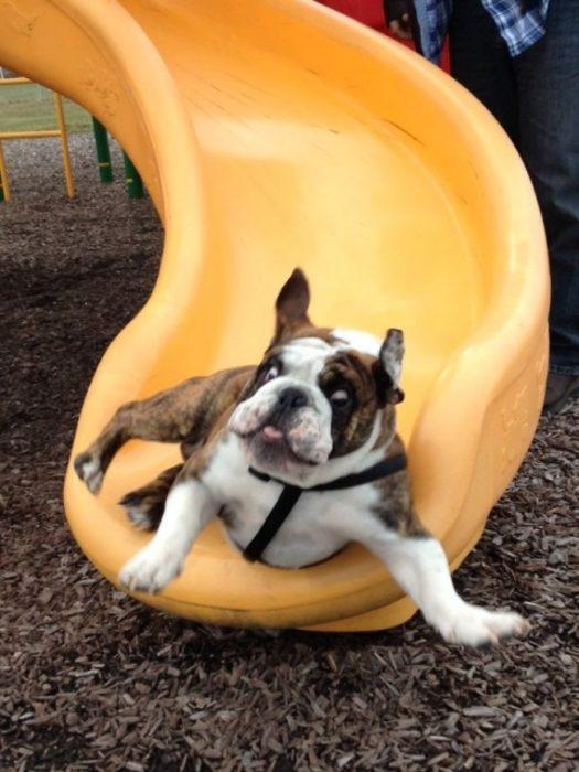 perro resbaladilla bull dog
