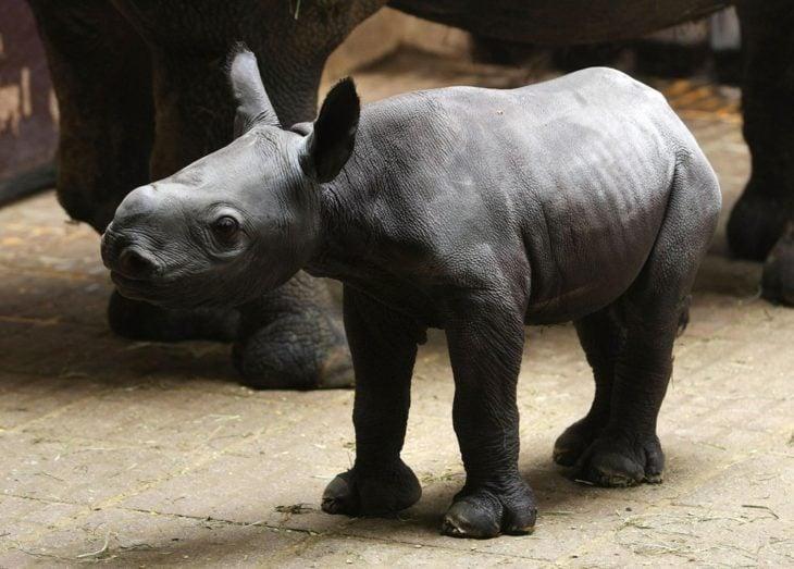rinoceronte bebé