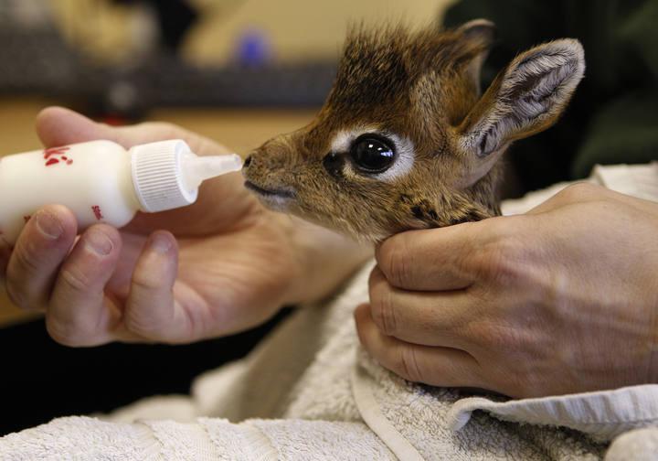 antilope bebe