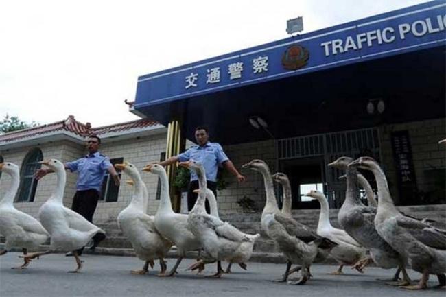 gansos policía en china