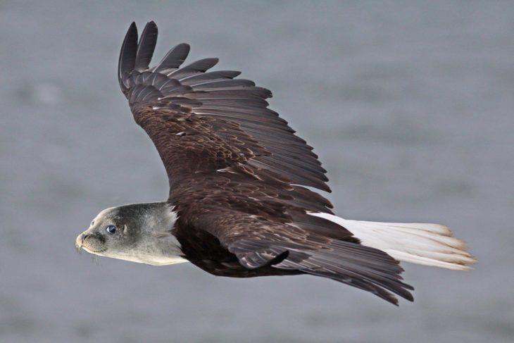 águila foca sonriente