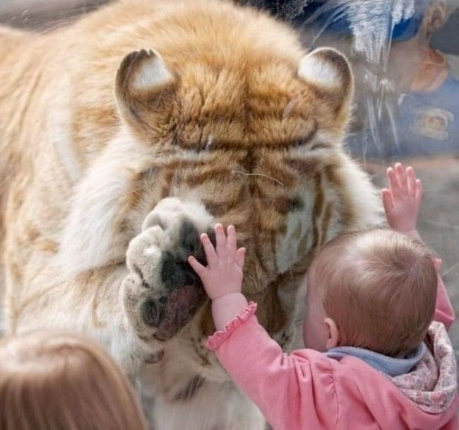 tigre en zoo y bebé enternecedores