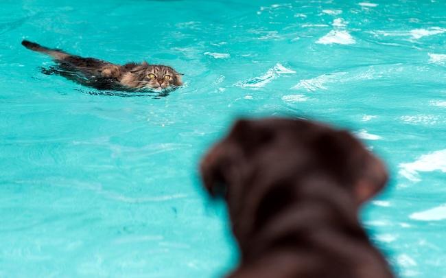 perro nadando salvando a un gato alberca