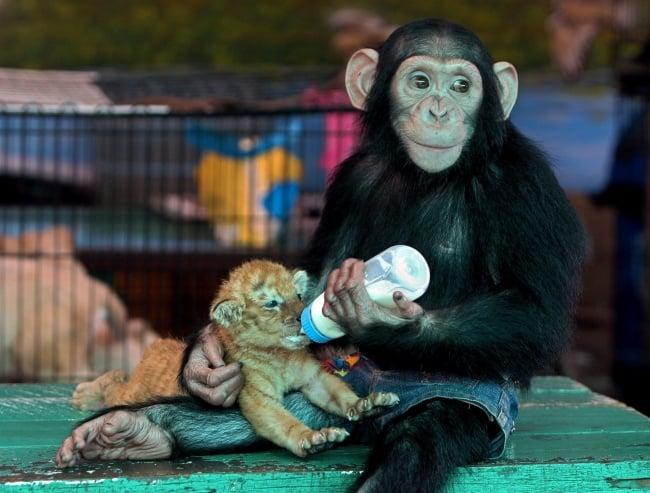 chamgo alimentando a un tigre