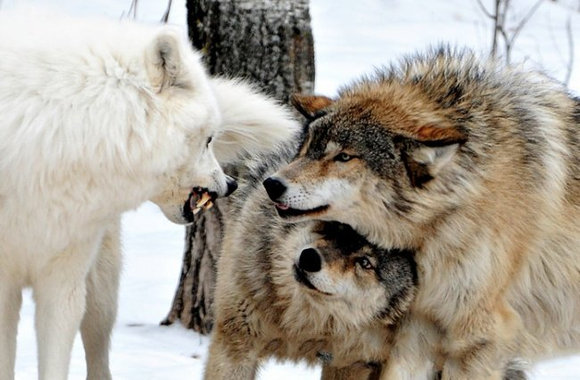 guerra de lobos blanco y grises