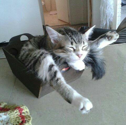 gato acostado en su caja
