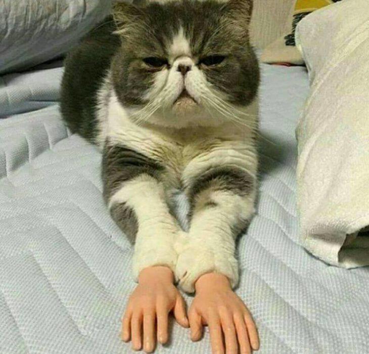 gato con manos