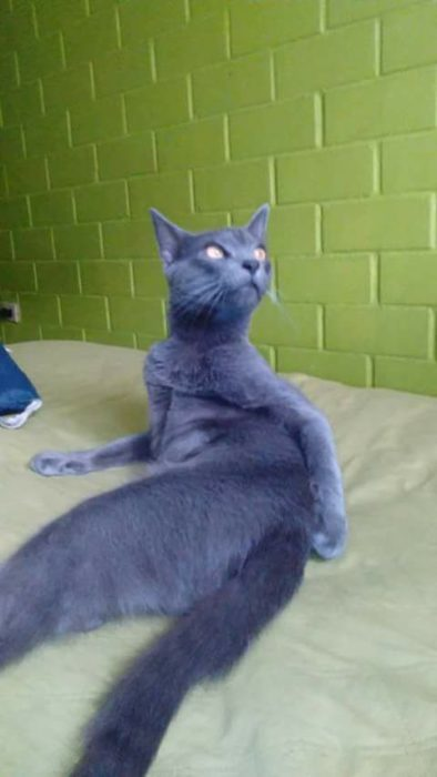 gato posando sexy