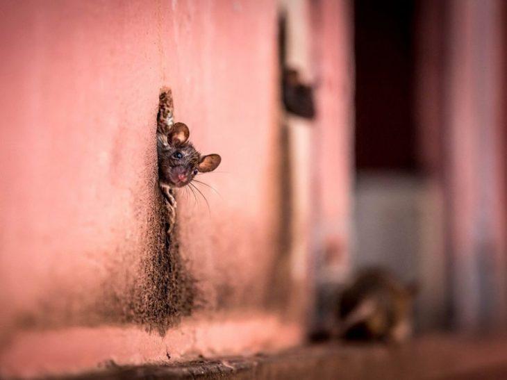 ratón asomándose del agujero