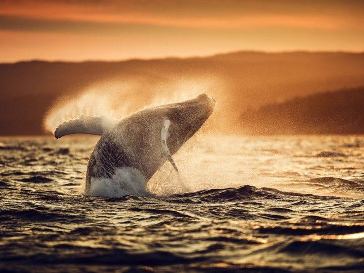 ballena atardecer salto mar