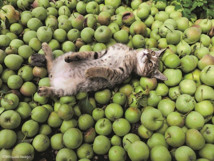 gatito meditando sobre unas manzanas