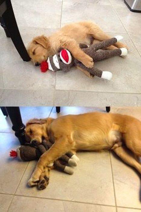 cachorro con su juguete y ahora de grande