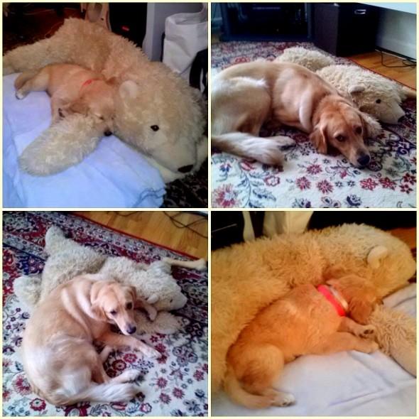 perro no deja su oso de peluche