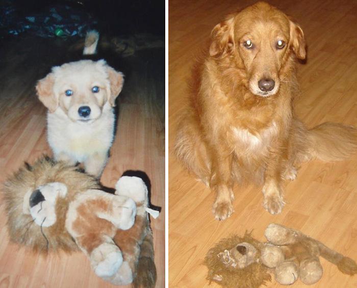 cachorro con su león, perro grande con el león destrozado