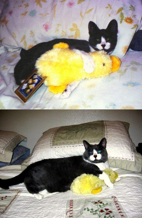 gato con su pato de juguete cuando era bebé y ahora