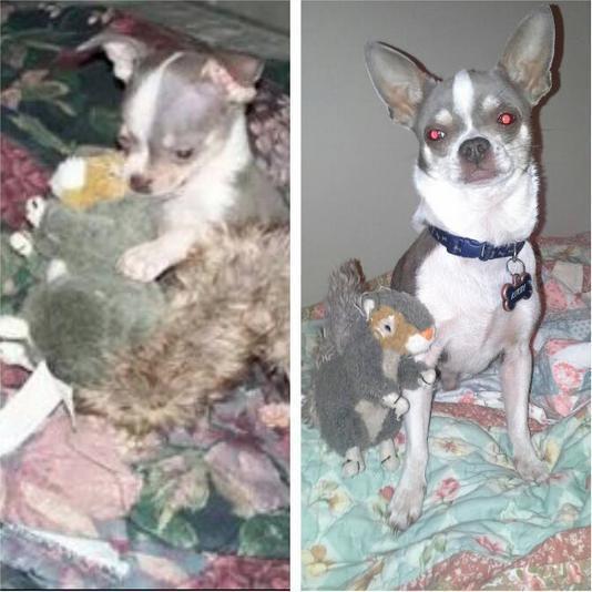 perro chihuahua con su juguete favorito