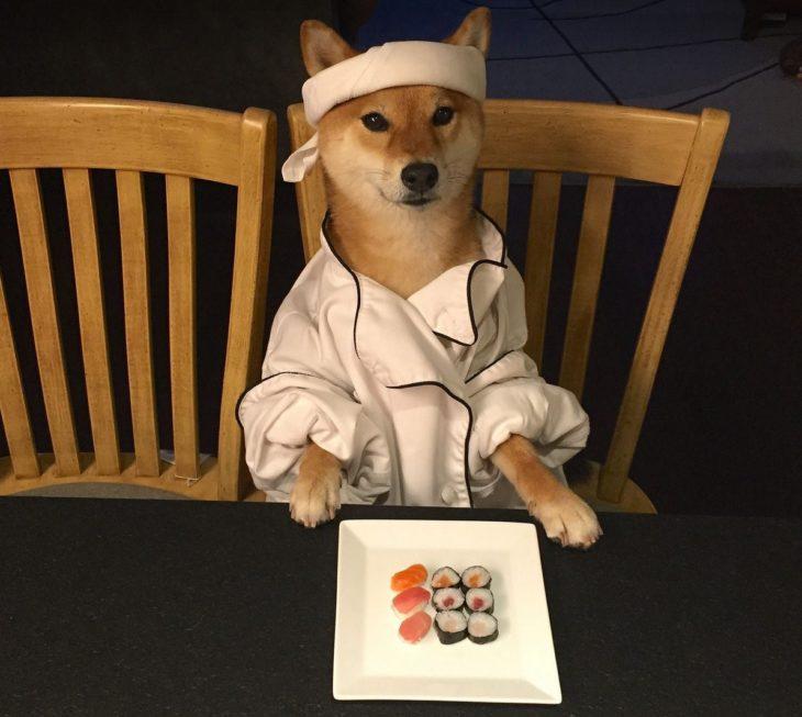 Shiba Inu vestido de chef sushi