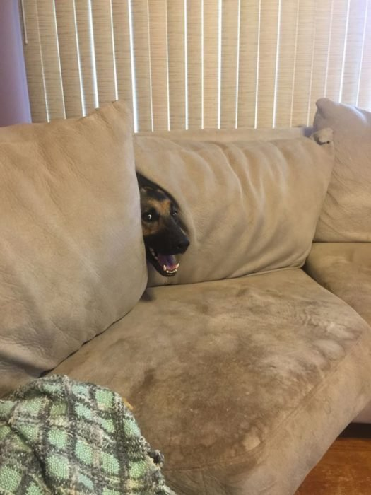 perro esconido en sillón