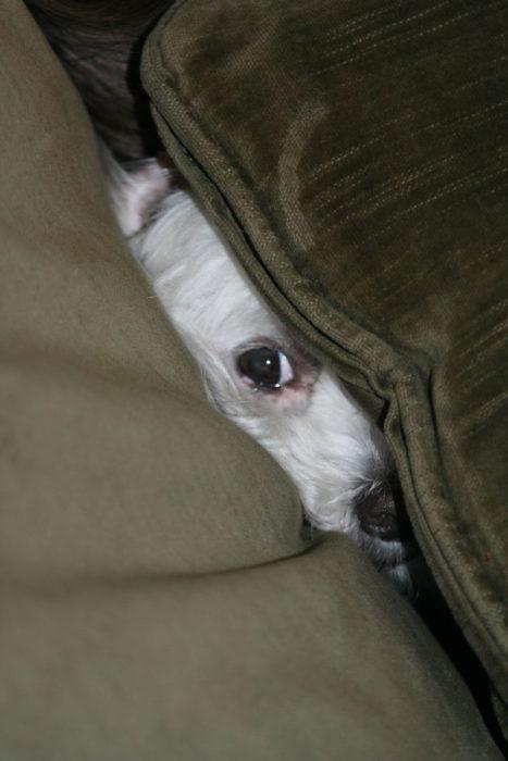 perro escondido en el sillón