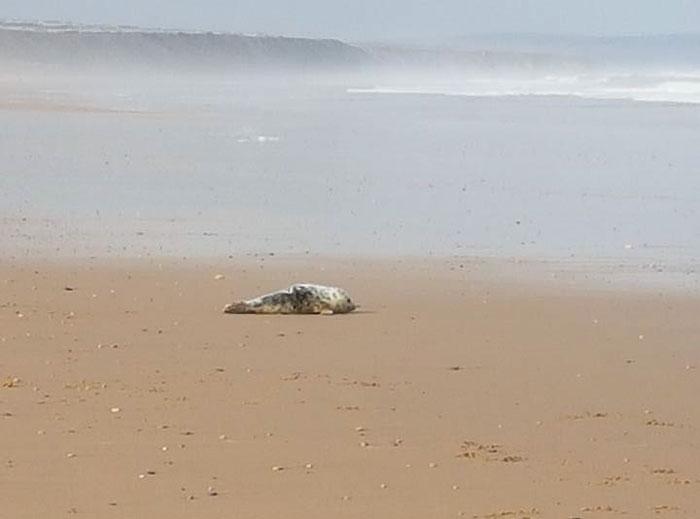foca bebé en la playa